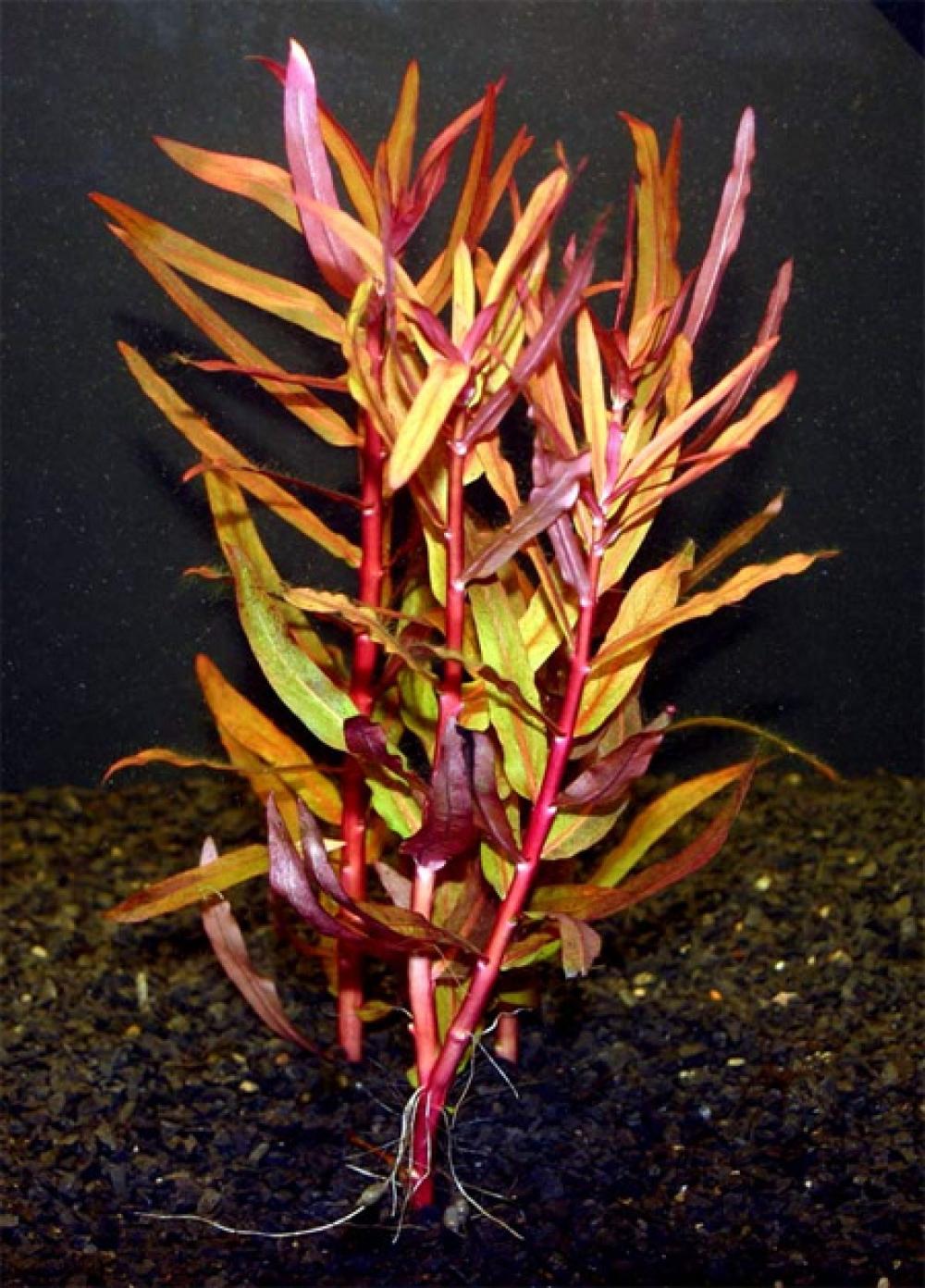 Аммания изящная, Аммания грацилис (Ammannia gracilis) - 1