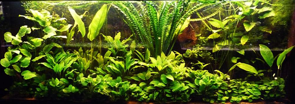 Анубиас разнолистный, анубиас конголезский  (Anubias heterophylla, anubias congensis) - 2