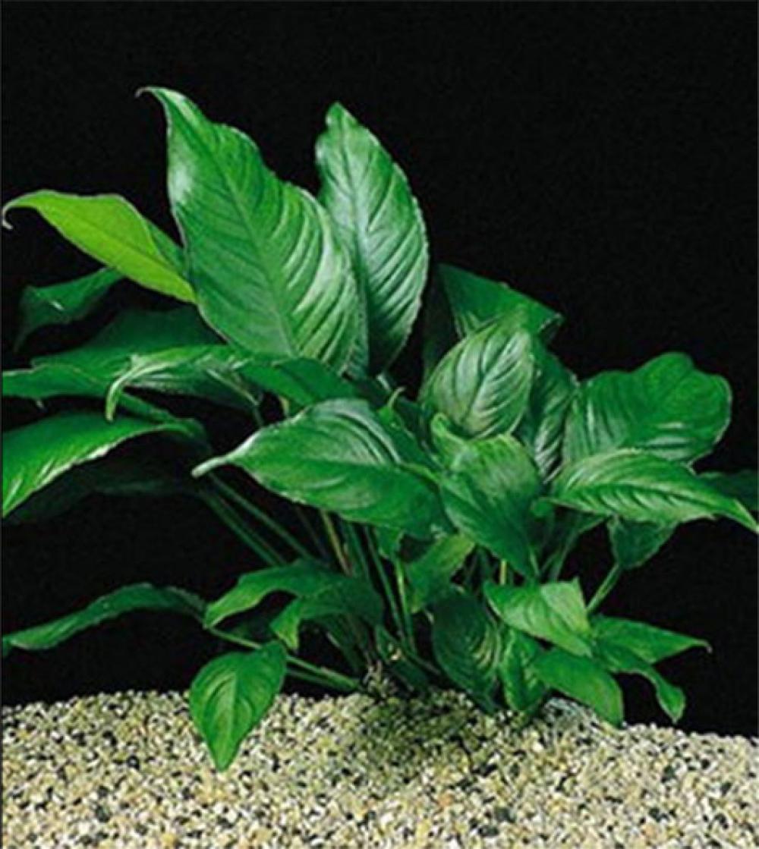 Анубиас разнолистный, анубиас конголезский  (Anubias heterophylla, anubias congensis) - 1