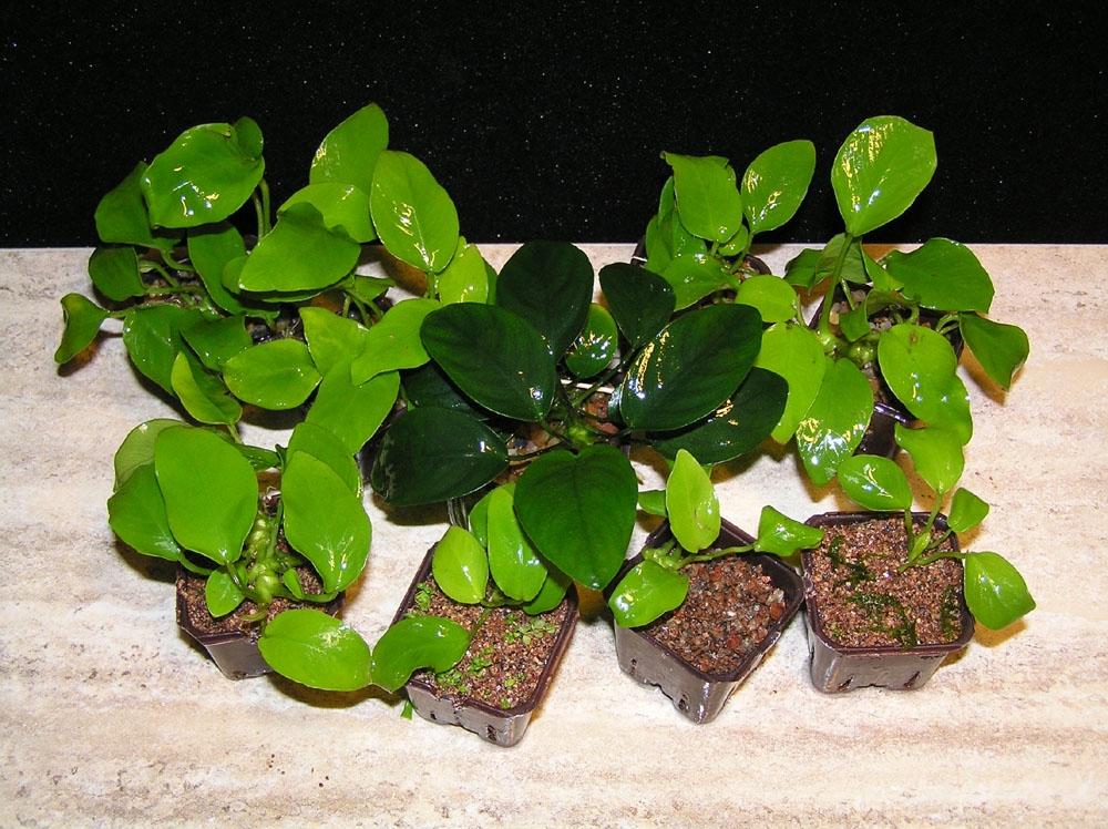 Анубиас карликовый, анубиас Бартера, анубиас нана  (Anubias barteri var. nana) - 1
