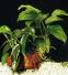 """Анубиас Бартера """"кофейнолистный"""" (Anubias barteri var. """"Coffeefolia"""") - 1"""