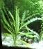 Апоногетон волнистый, живородящий  (Aponogeton stachysporus, undulatus) - 1