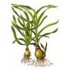 Кринум таиландский  (Crinum thaianum)