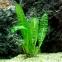 Апоногетон Боивина  (Aponogeton boivinianus) - 1
