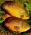 Астронотус ореховый (S) 5-7 см - 1