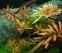 Аммания сенегальская (Ammannia senegalensis) - 1