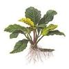 """Анубиас Бартера """"кофейнолистный"""" (Anubias barteri var. """"Coffeefolia"""")"""