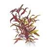 Альтернантера лиловая, или Альтернатера Лилацина, или Очереднопыльник большой  (Alternanthera lilacina)