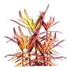 Аммания сенегальская (Ammannia senegalensis)