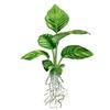 Анубиас разнолистный, анубиас конголезский  (Anubias heterophylla, anubias congensis)